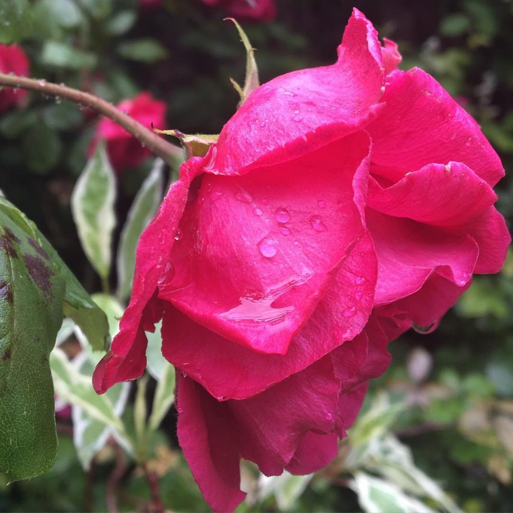 This rose looks how I feel - a little bit wet and tired!! Why does it rain on the school run??